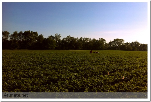 pick your own strawberry fields spencer farm noblesville