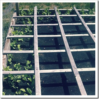 raised bed gardening peas in indiana